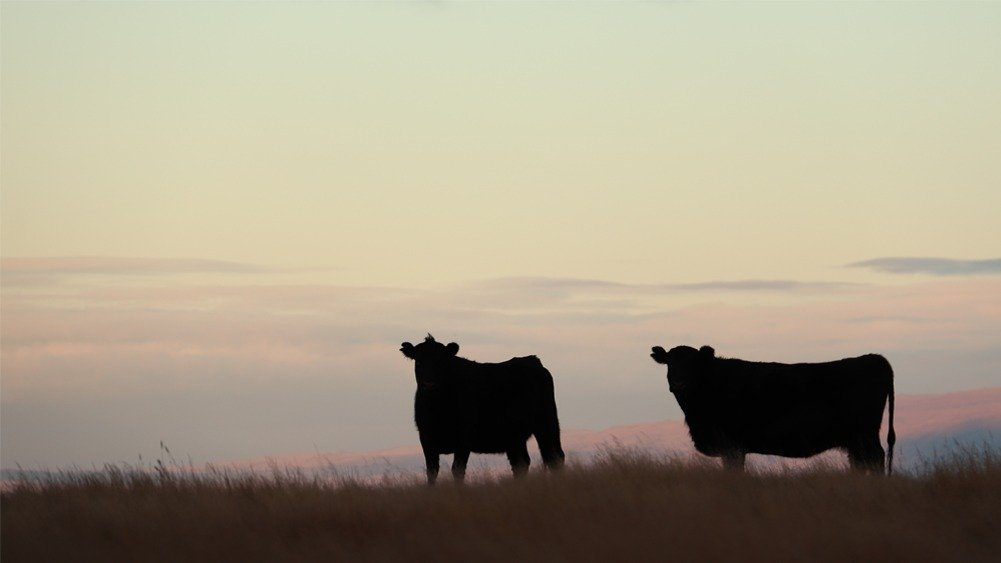best photos of 2020 angus cattle at sunrise in central otago