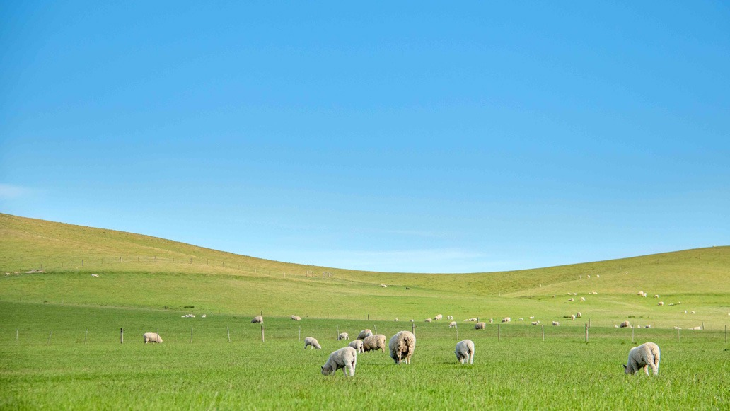 best photos of 2020 sheep in the summer sun