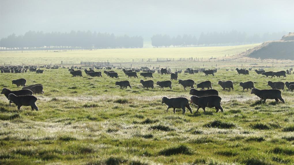 Better raising of pasture fed lambs