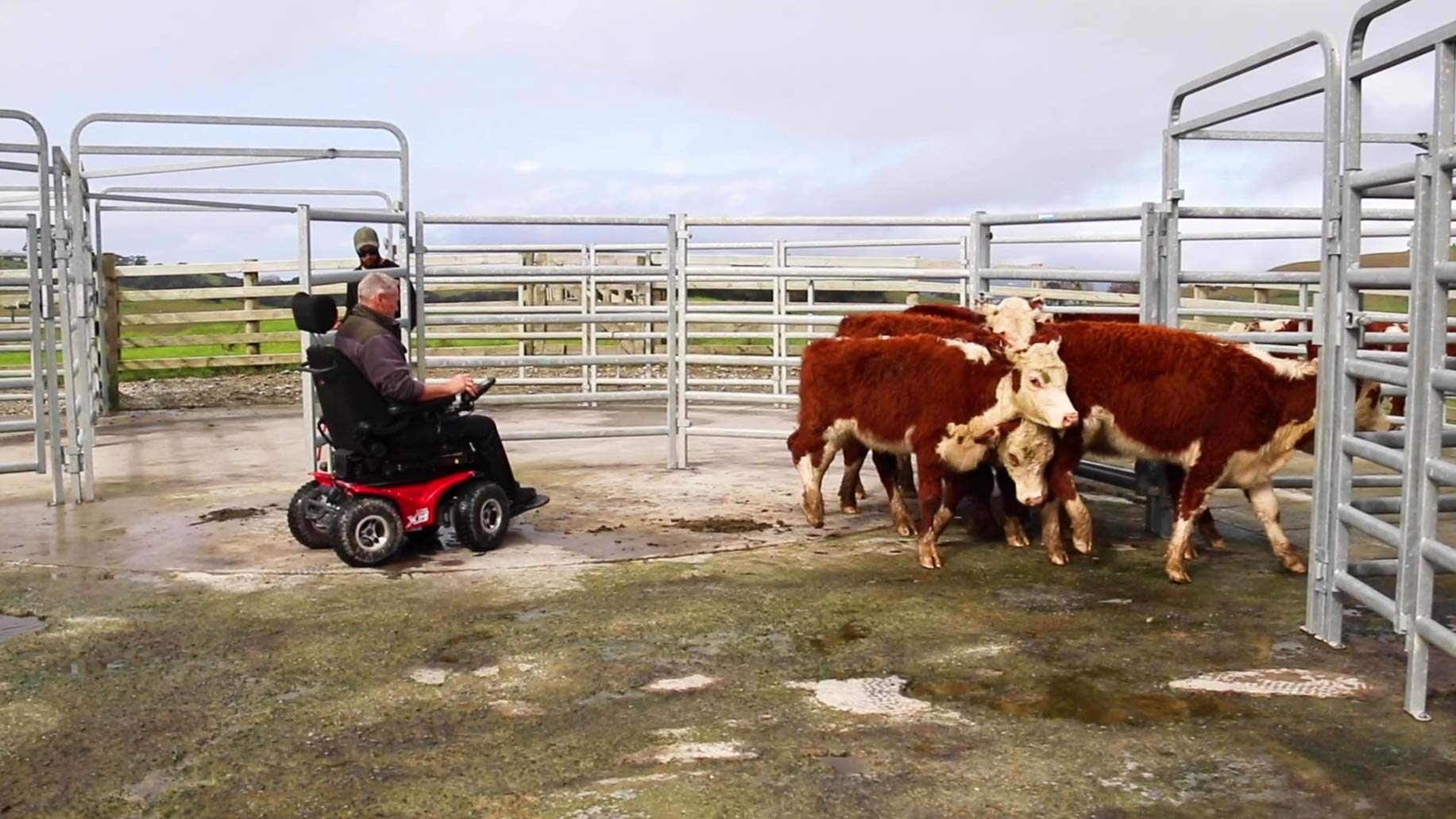 Cattle flow was essential for martin peddle being limited to a wheelchair