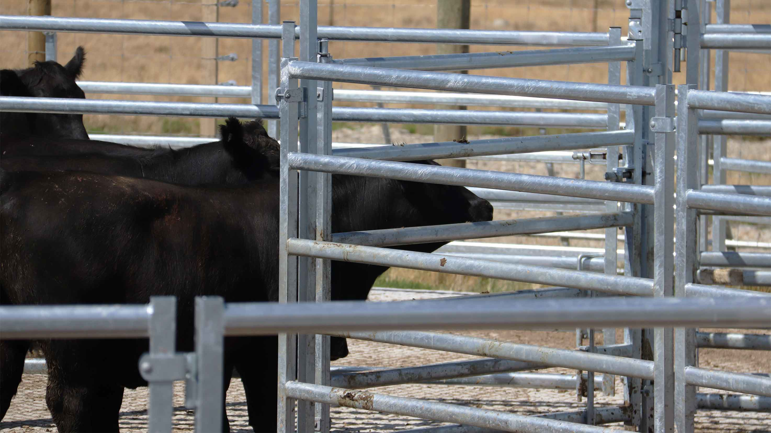 extra visibality in te pari steel cattle yards