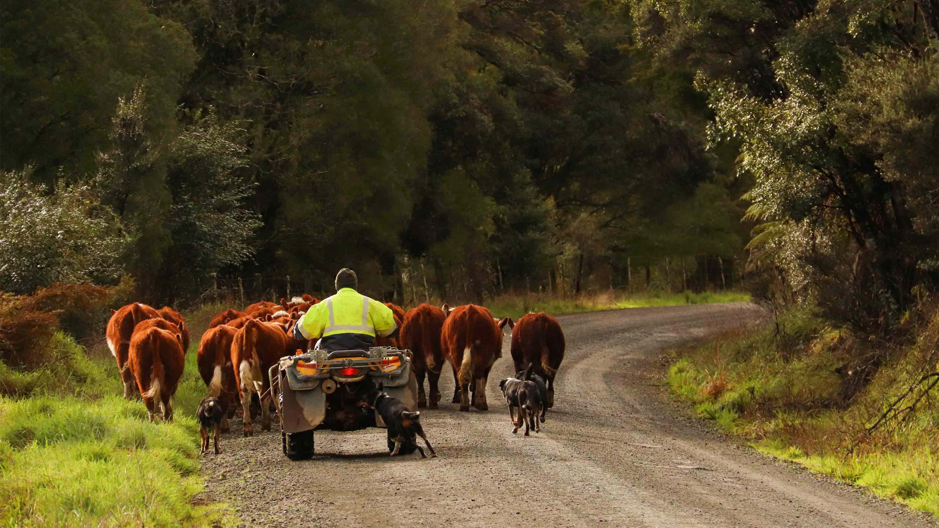 ian webb hereford cattle breeders (3)