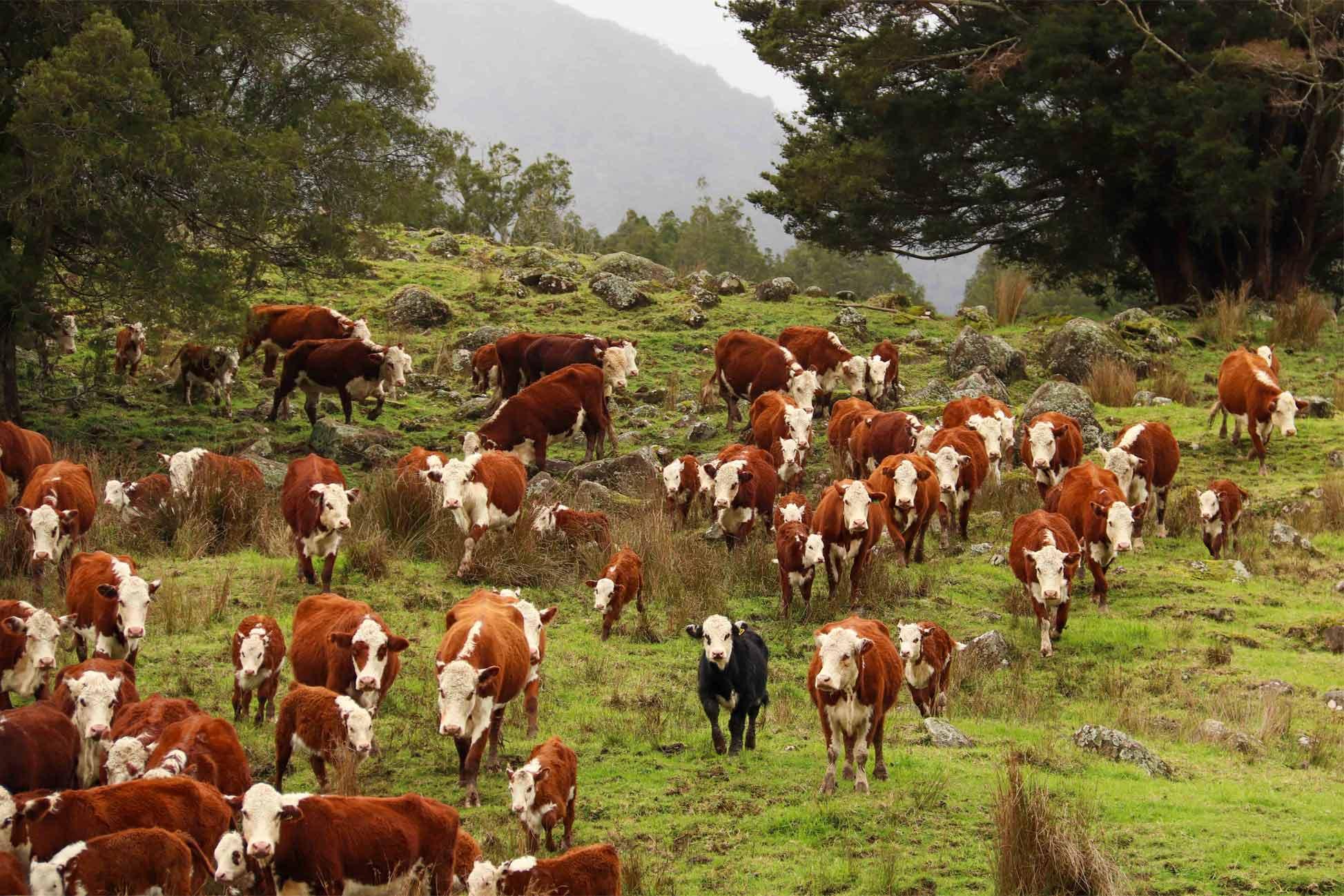 ian webb hereford cattle breeders (6)