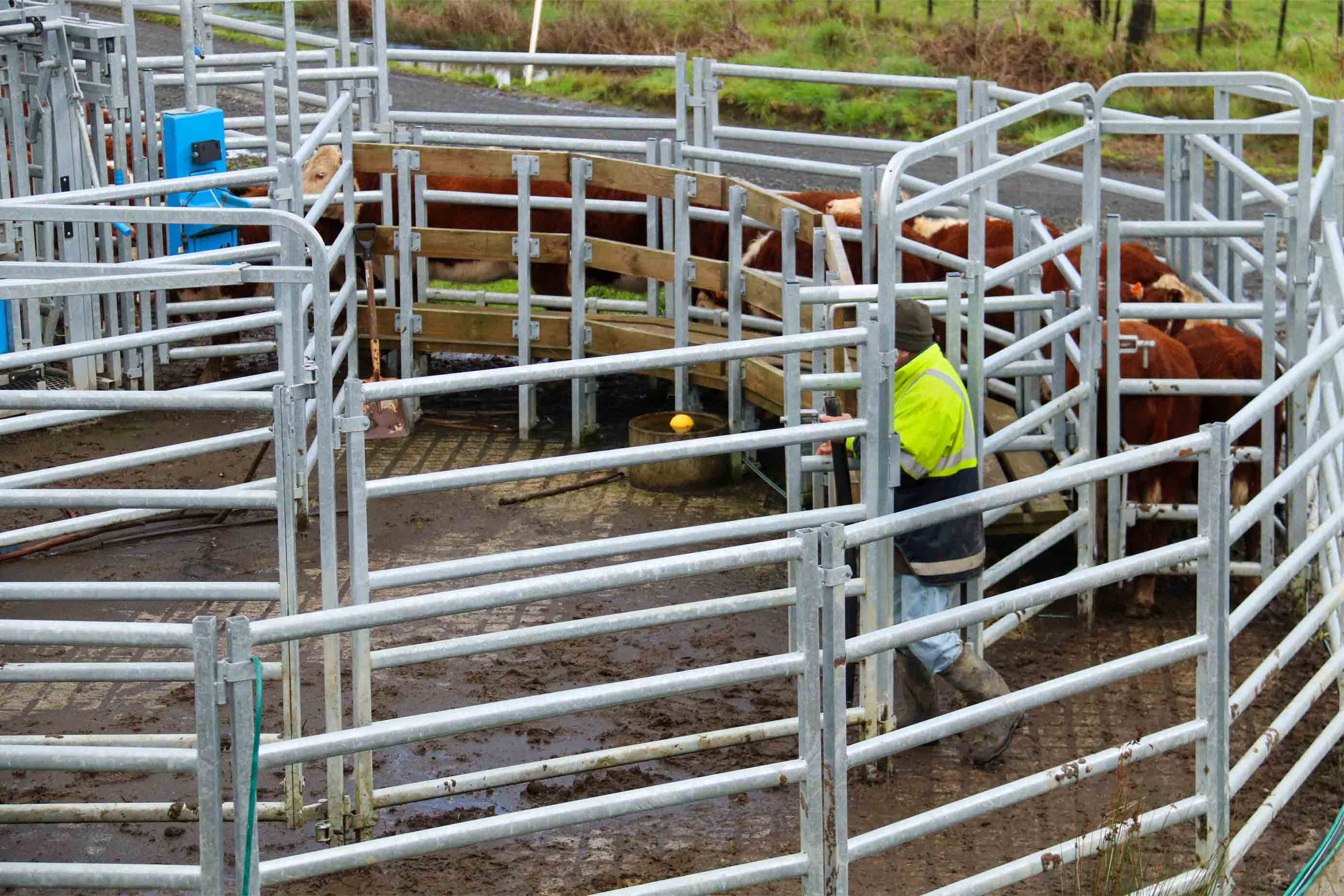 ian webb steel cattle yards nz, build plans hereford cattle breeders (3)