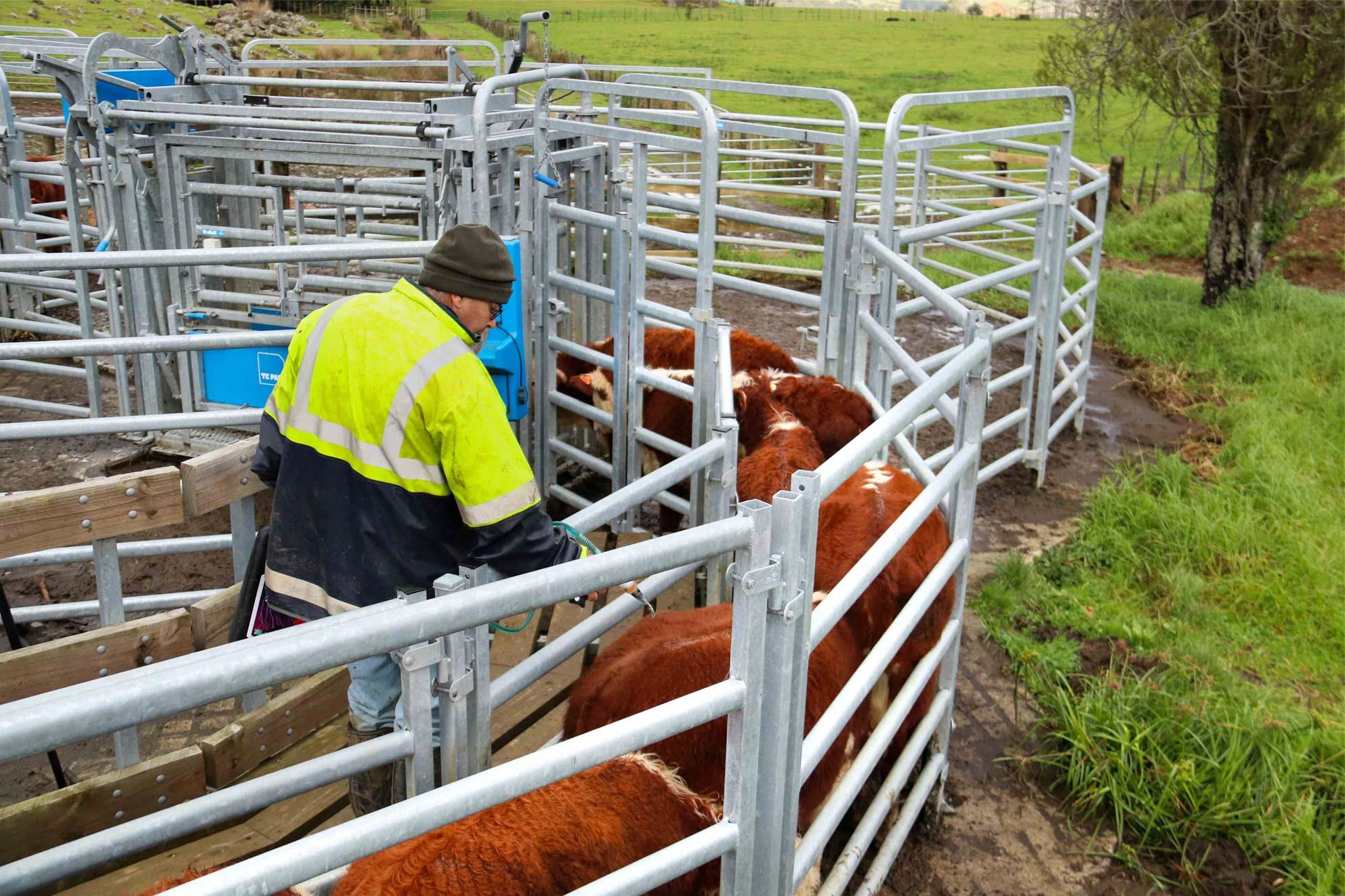 ian webb steel cattle yards nz, build plans hereford cattle breeders (4)