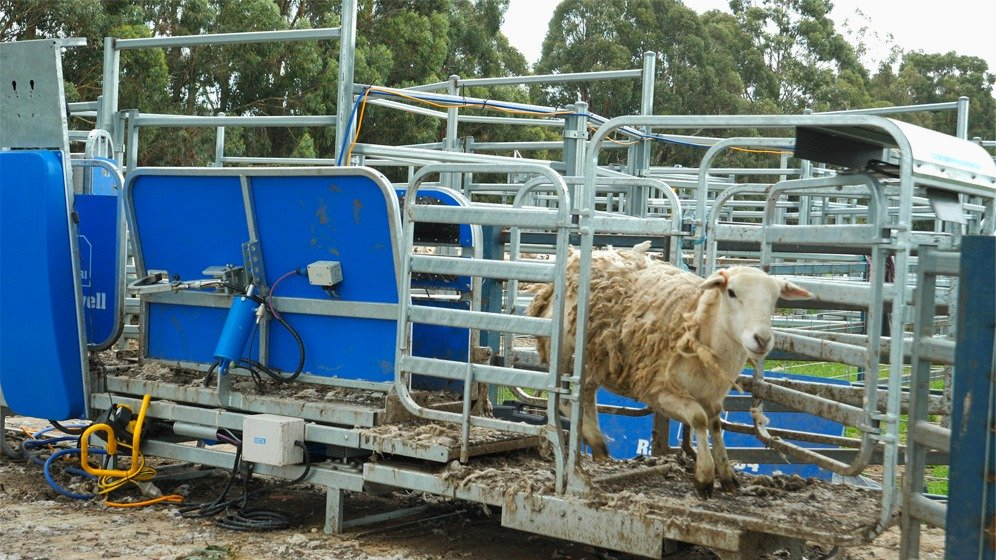 james almond auto draft sheep based of weight