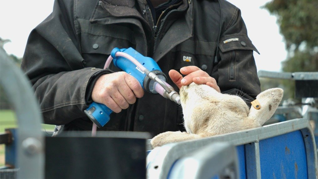 james almond drenching sheep with tridectin with his dosing gun (1)