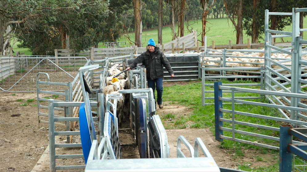 james almond working the t30 scale system for cattle & sheep (3)