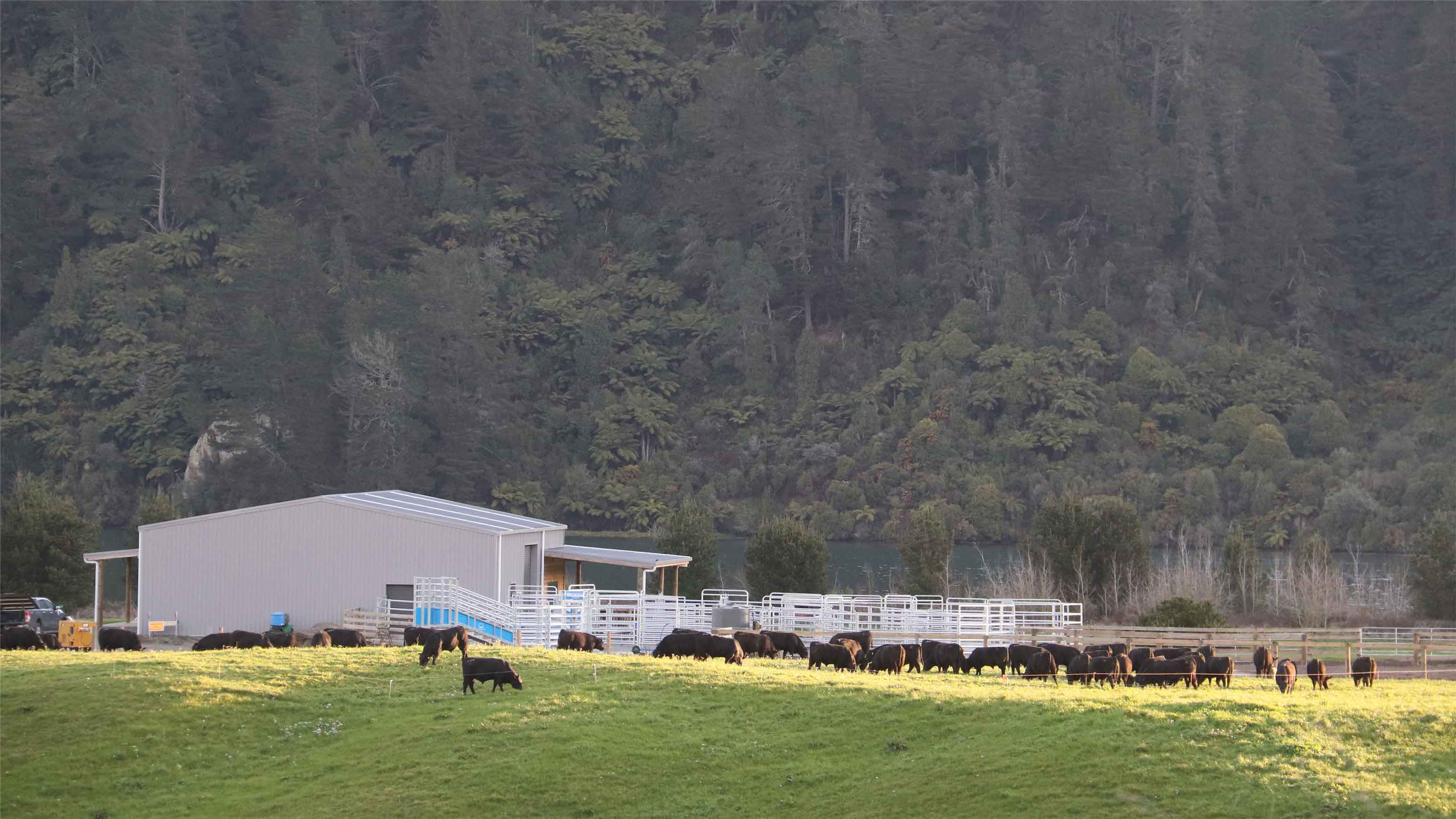 mark stokmans angus bull selling complex