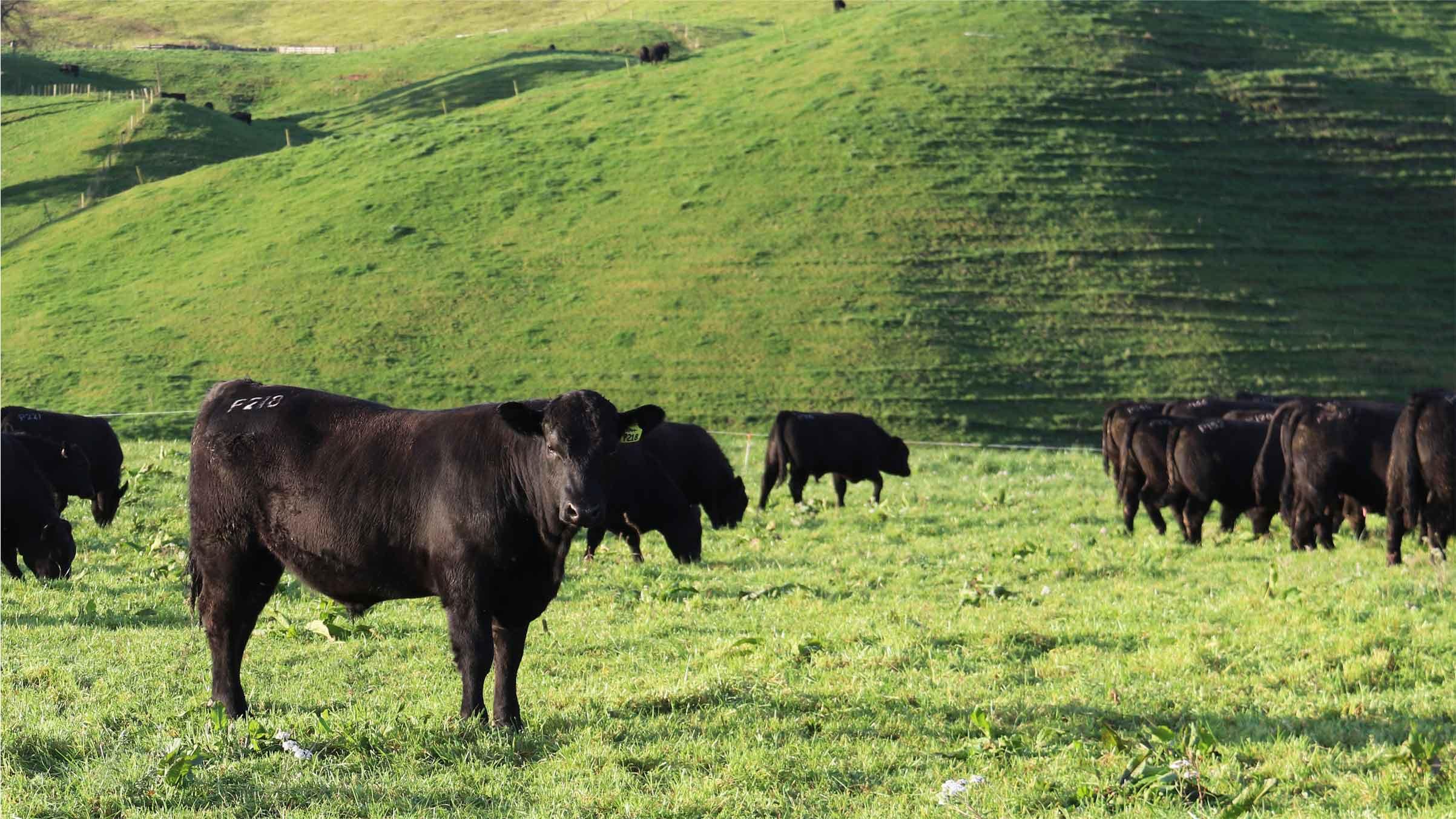 mark stokmans angus cattle bulls