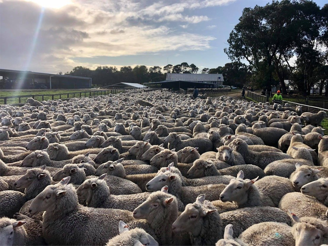 mixed compisite ewes being rasied in south australia