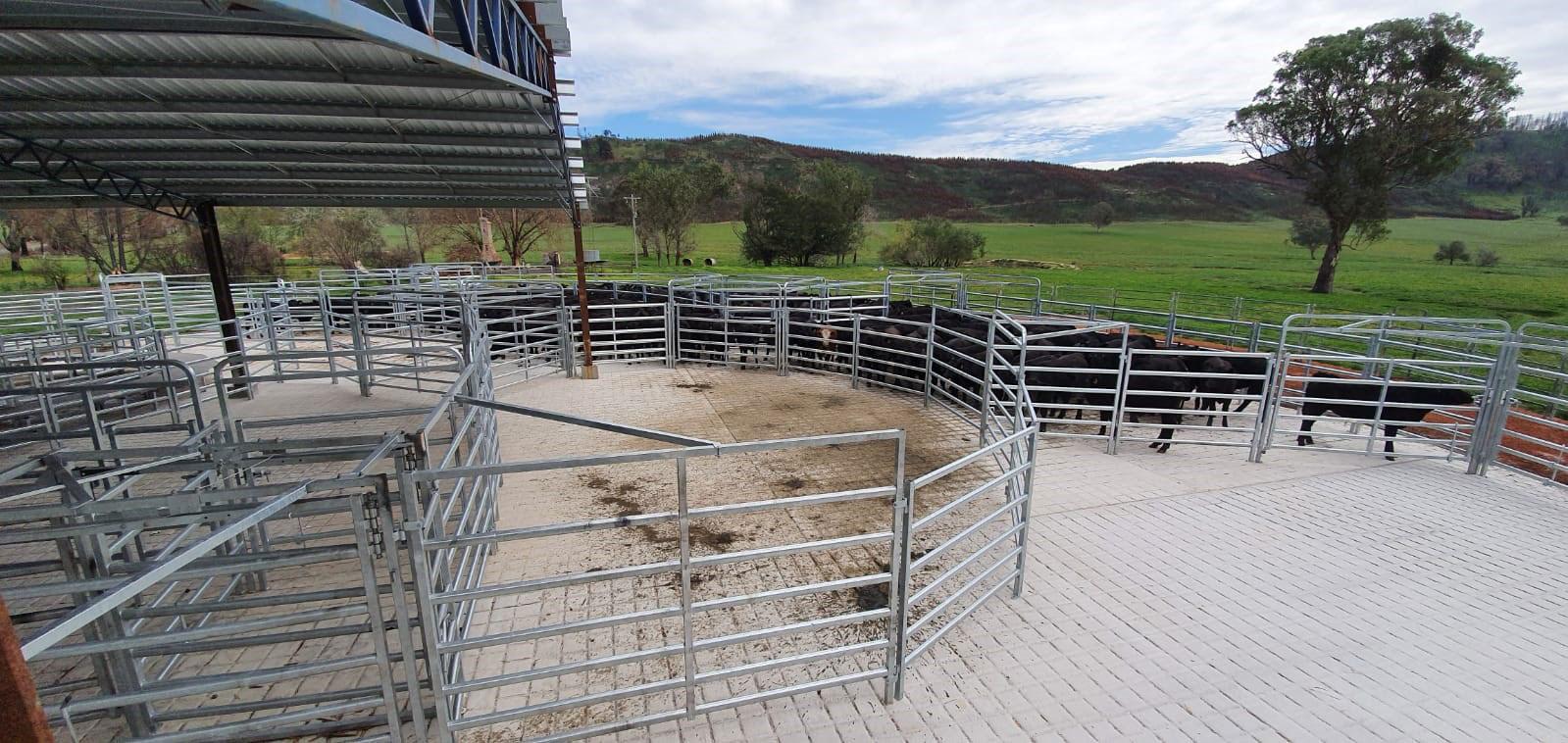 Georges Angus Calves in his New Te Pari Steel Cattle Yard