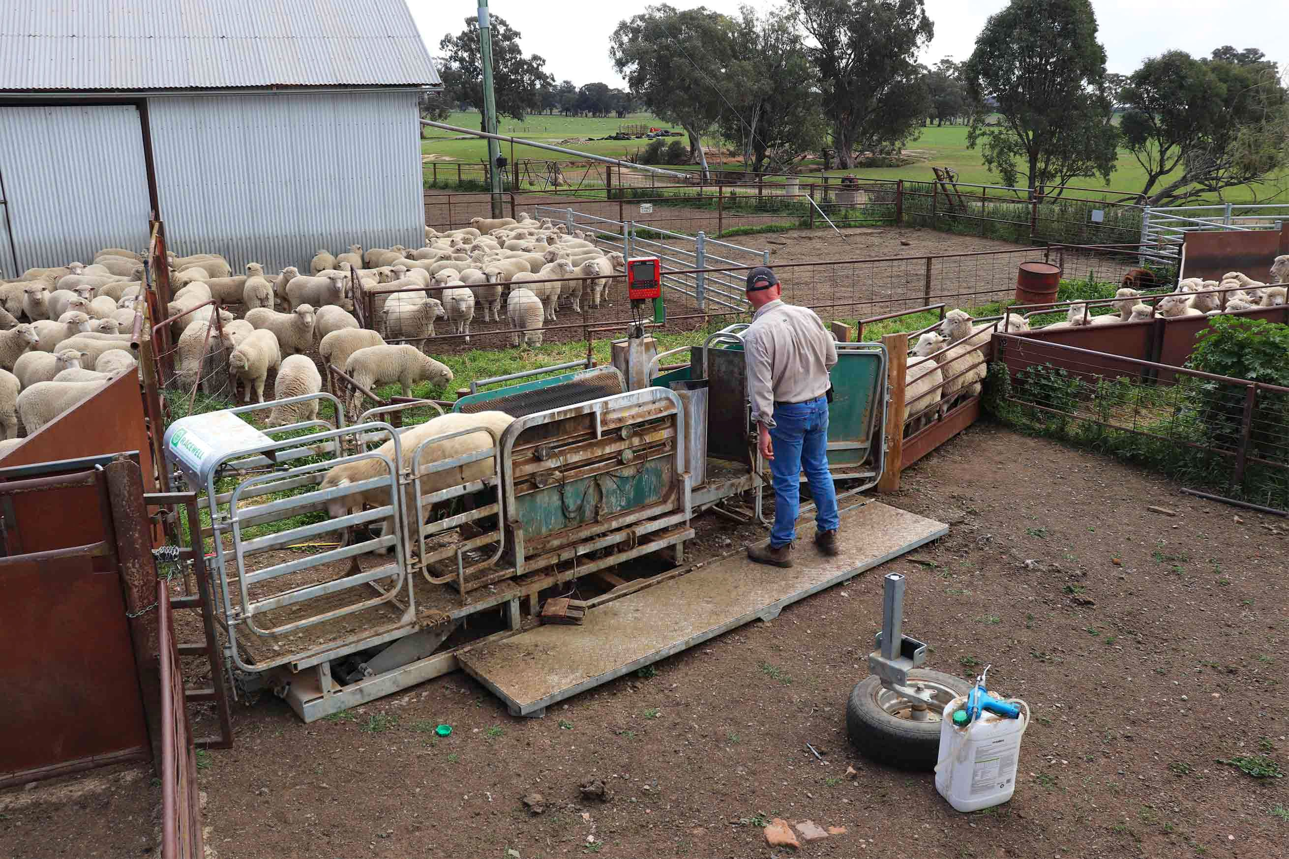 peter mcclintocks racewell sheep handler and dosing gun setup in his pro way sheep yards 2