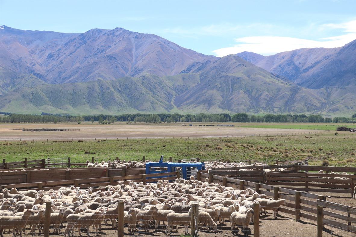 richard hay auto drafting sheep by himself